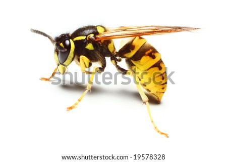 Close-up of a live Yellow Jacket Wasp - stock photo