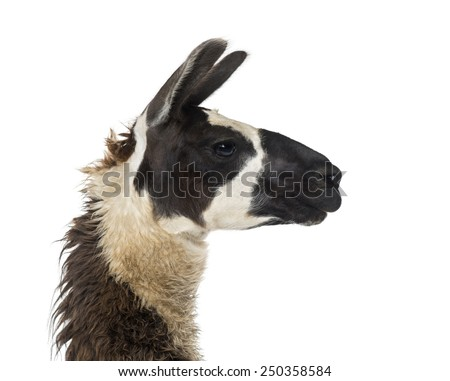Close-up of a Llama - stock photo