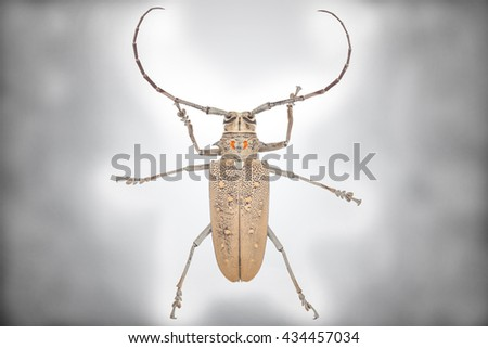 Close up of a Longhorn beetle ( Coleoptera-Cerambycidae ) isolated on white background with clipping path - stock photo