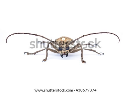 Close up of a Longhorn beetle ( Coleoptera-Cerambycidae ) on white background - stock photo