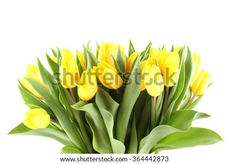 Close-up of a lot of beautiful yellow tulips. Isolated on white background