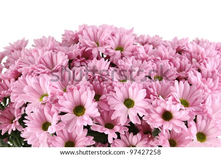 Close-up of a lot of purple chrysanthemums in an iron bucket. Isolated on white background