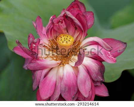 close up of a lotus flower and seedpod in full bloom - stock photo