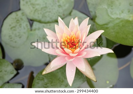 close up of a lotus flower in full bloom, up view of water lily - stock photo