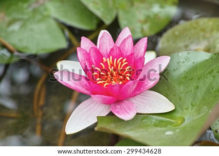 close up of a lotus flower in full bloom, water lily - stock photo