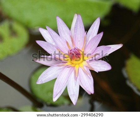close up of a lotus flower in full bloom, water lily in pond. - stock photo