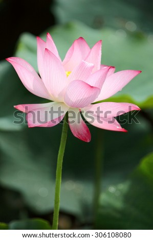 Close-up of a lovely pink lotus flower blooming among green leaves - stock photo