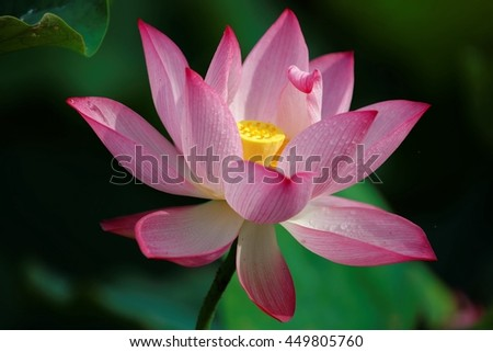 Close-up of a lovely pink lotus flower blooming among green leaves ~ A blooming pink waterlily with dewdrops on delicate petals ~ Close-up of a beautiful lotus flower in full bloom - stock photo