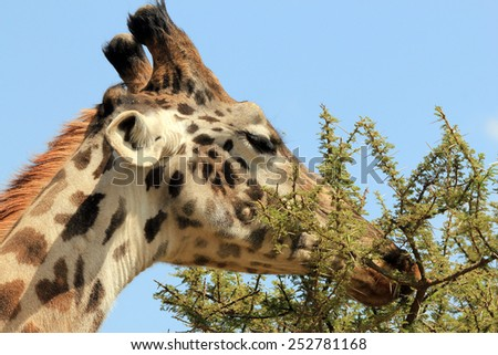 Close-up of a Maasai Giraffe (Giraffa Tippelskirchi) Feeding from a Thorny Tree, Serengeti, Tanzania - stock photo