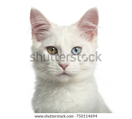 Close-up of a Main-coon kitten with wall eyes, 4 months, isolated on white