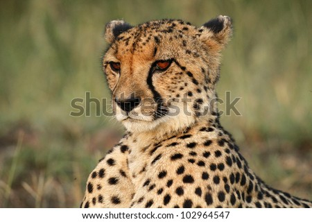 Close up of a majestic cheetah male