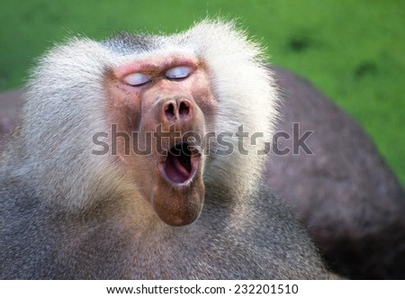 Close-up of a male baboon just waking up - stock photo