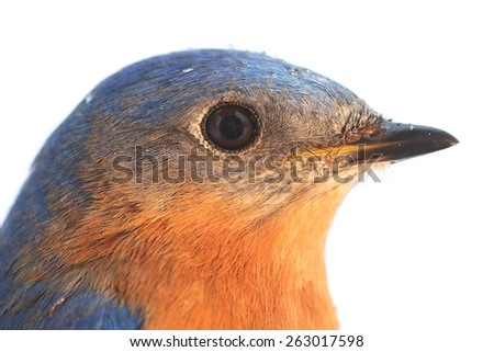 Close-up of a Male Eastern Bluebird (Sialia sialis) with a white background - stock photo