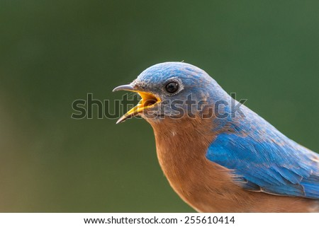Close up of a male eastern bluebird with his mouth open and a shallow depth of field - stock photo