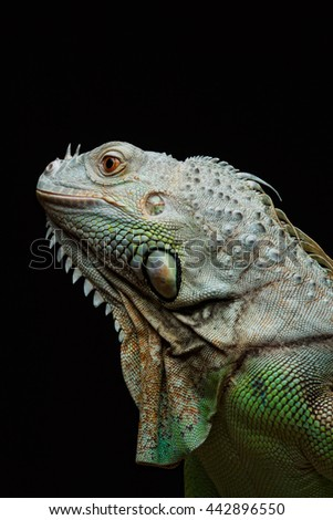 Close-up of a male Green Iguana (Iguana iguana). Green Iguana Reptile Portrait Closeup - stock photo