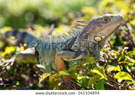 Close-up of a male Green Iguana in it's natural habitat - stock photo
