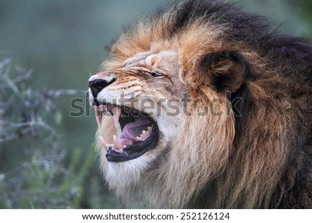 Close up of a male Lion (Panthera leo) flehming in the Amakhala Game Reserve, Eastern Cape, South Africa. - stock photo