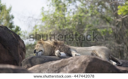 Close up of a Male Lion sleeping on rocks - stock photo