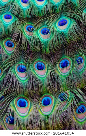 Close up of a male peacocks stunning tail feathers  - stock photo