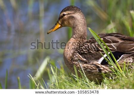 Close-up of a Mallard or Wild Duck (Anas platyrhynchos) - stock photo
