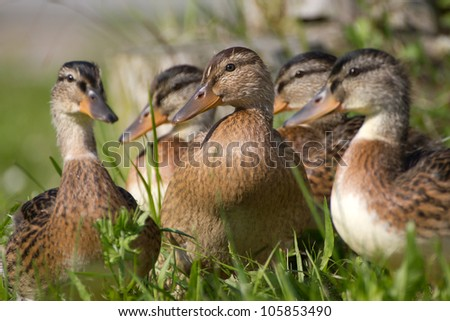 Close-up of a Mallard or Wild Duck (Anas platyrhynchos) - stock photo