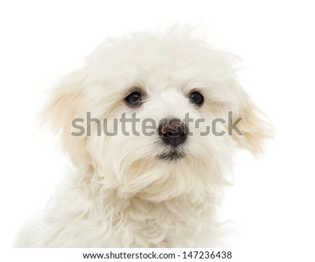 Close up of a Maltese puppy, 7 months old, isolated on white - stock photo