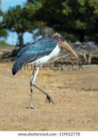 Close up of a Marabou Stork (Leptoptilos crumeniferus)  - stock photo