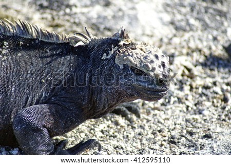 Close up of a marine iguana on lava rock on Fernandina Island in the Galapagos Islands