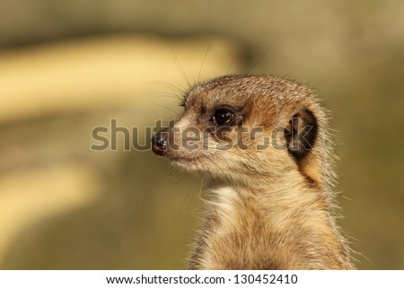Close-up of a meerkat - stock photo