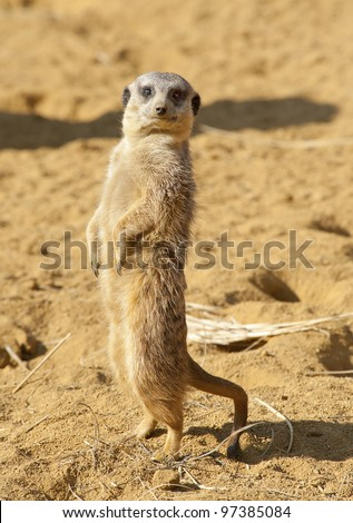 Close up of a Meerkat