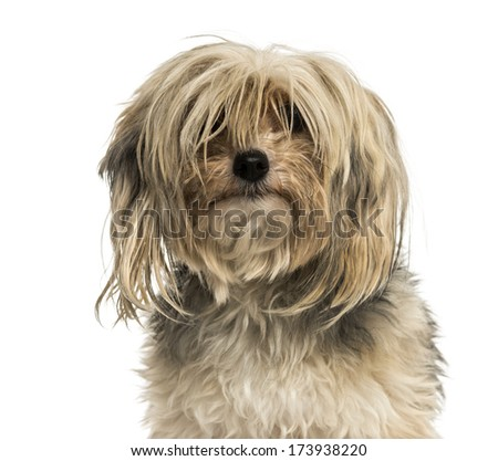 Close-up of a messy Yorkshire terrier, isolated on white - stock photo