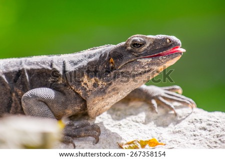 Close up of a Mexican iguana - stock photo