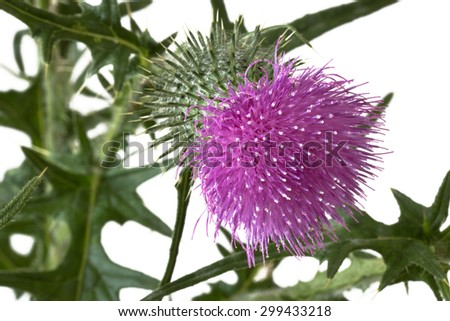Close up of a milk thistle bud over white background - stock photo