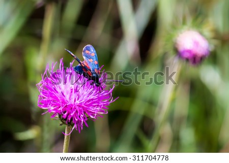 close up of a moth six-spot burnet (Zygaena filipendulae) on a purple flower