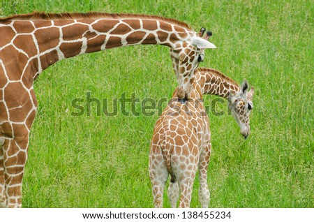 Close-up of a mother reticulated giraffe licking its baby - stock photo