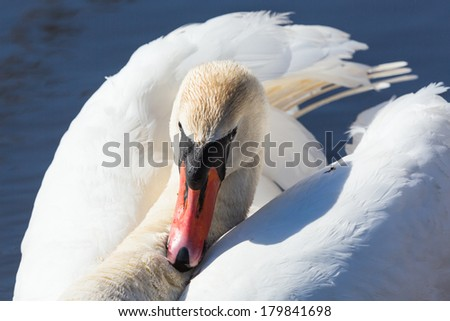 Close up of a mute swan in the lake - stock photo