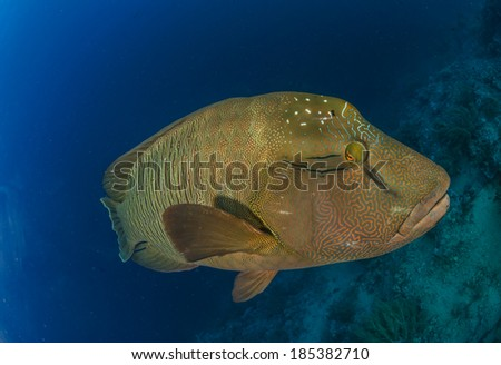 Close-up of a Napoleon Wrasse - stock photo