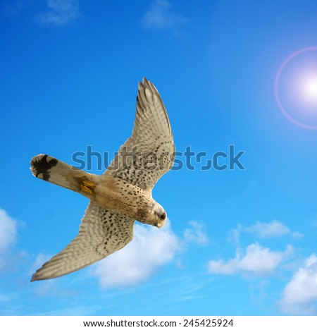 close up of a naumanni hawk under a bright sun - stock photo