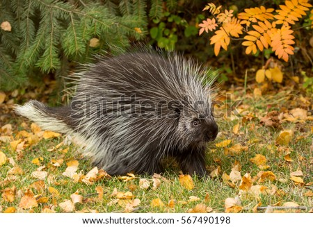 North American Porcupine Stock Images Royalty Free Images