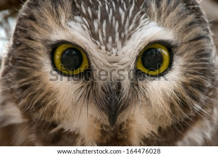 Close up of a Northern Saw-whet Owl.