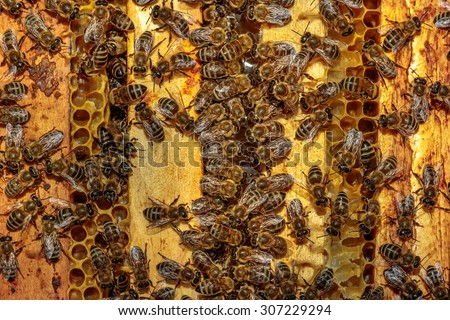 Close up of a opened hive body showing the frames populated by honey bees eating / drinking honey - stock photo