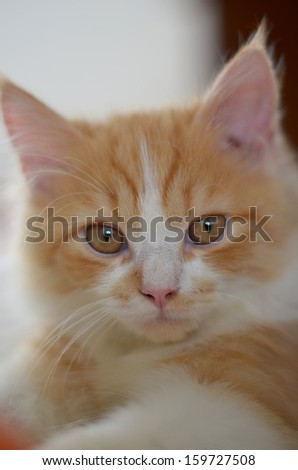 close up of a orange and white persian tabby cat face