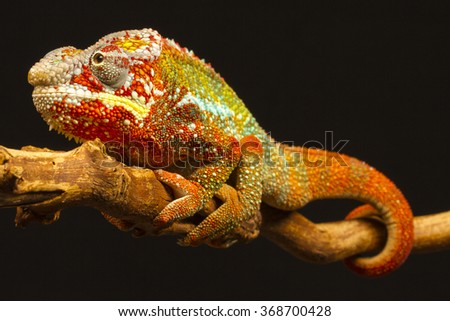 Close up of a Panther Chameleon (Furcifer pardalis) climbing a branch. Native to Madagascar - stock photo