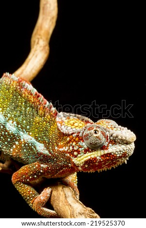 Close up of a Panther Chameleon (Furcifer pardalis) native to Madagascar - stock photo