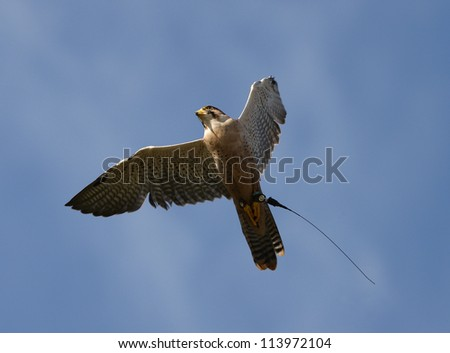 Close up of a Peregrine Falcon in flight - stock photo