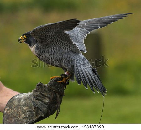 Close up of a Peregrine Falcon on a keepers glove - stock photo