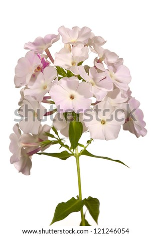 Close up of a phlox flowers, isolated on white background - stock photo