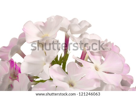 Close up of a phlox flowers, isolated on white background