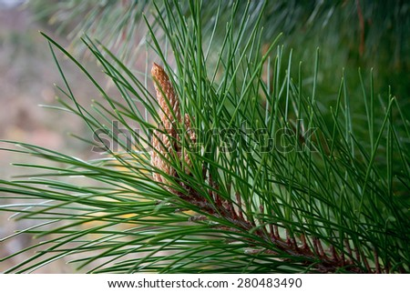 Close up of a pinecone on a branch, Wicklow national park forest, Ireland - stock photo