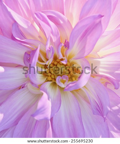 Close up of a pink dahlia blossom in early morning sunlight. Narrow depth of field. Small petals form heart shape near center, - stock photo
